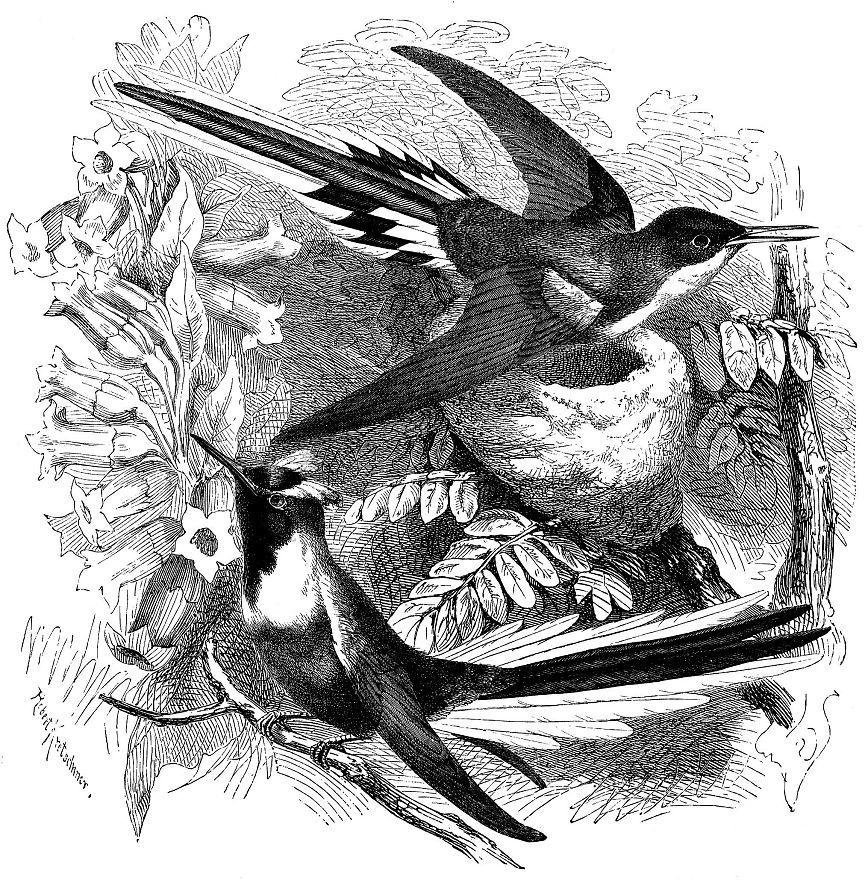 Рогатый колибри (Heliactin cor nut а)