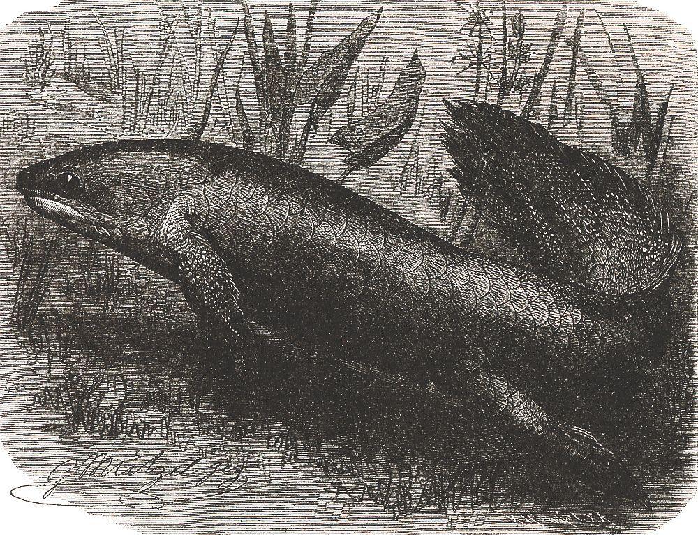 Рогозуб (Neoceratodus forsteri)