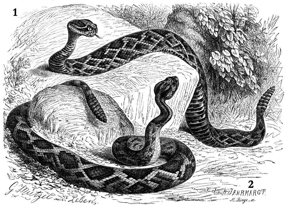 1- Ромбический гремучник (Crotalus adamanteus) 2— Полосатый гремучник (Crotalus horridus)