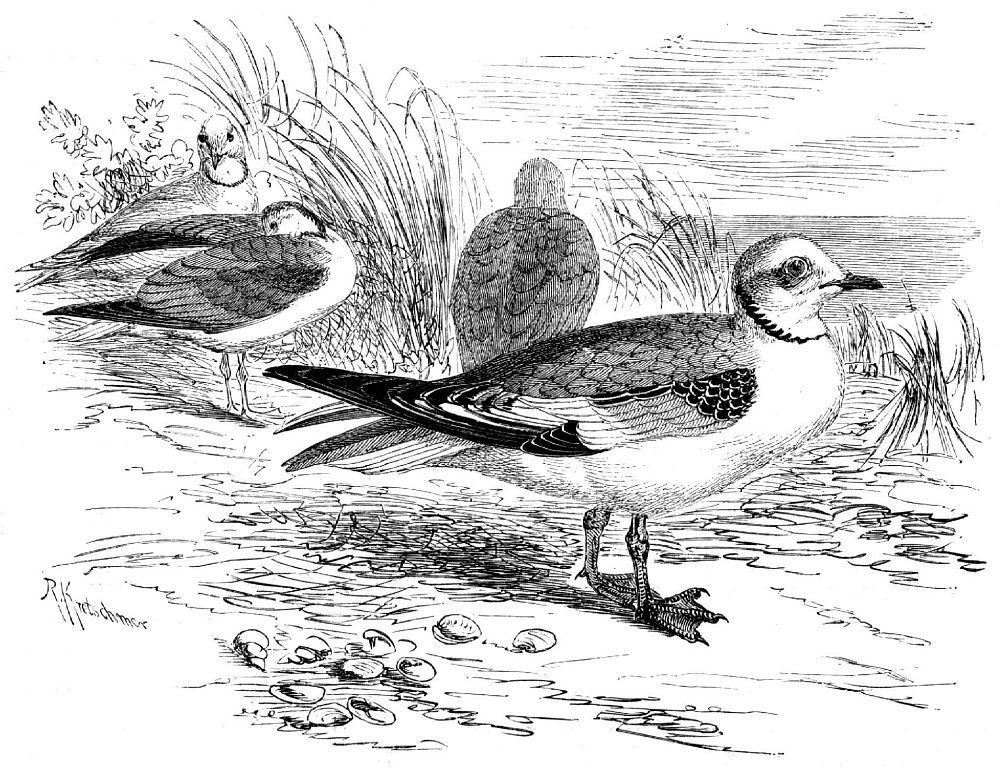 Розовая чайка (Lams rosea)