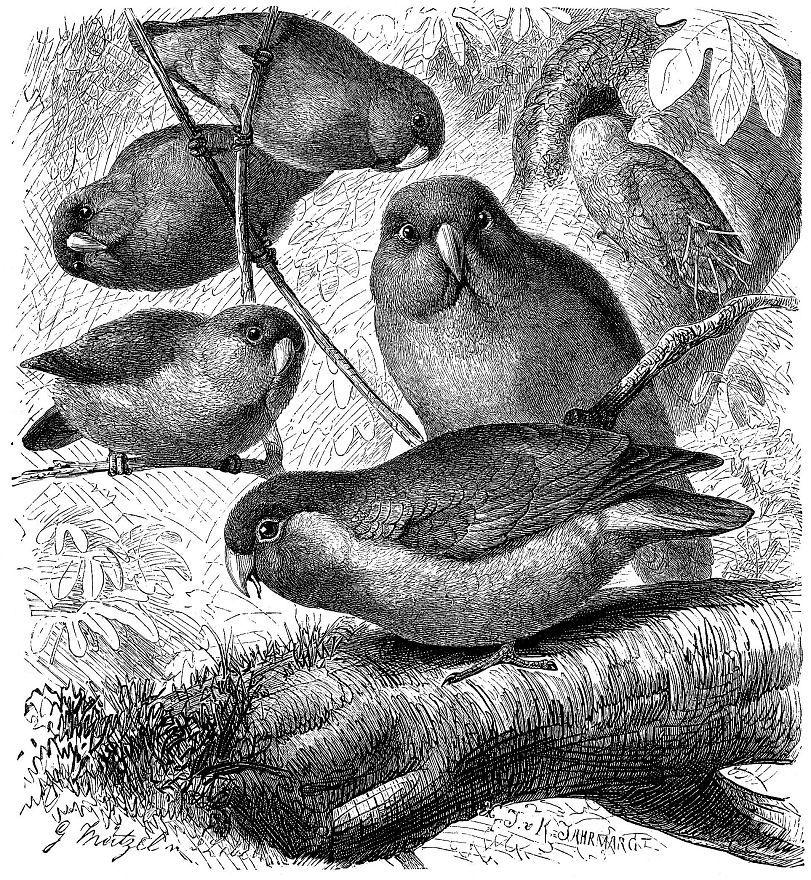 Розовощекий неразлучник (Agapornis roseicollis)