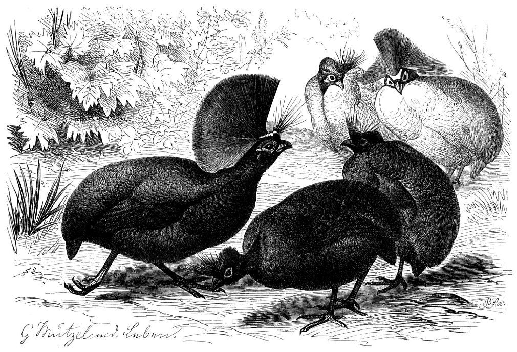Руруль, или венценосная куропатка (Rotlulus roulroul)