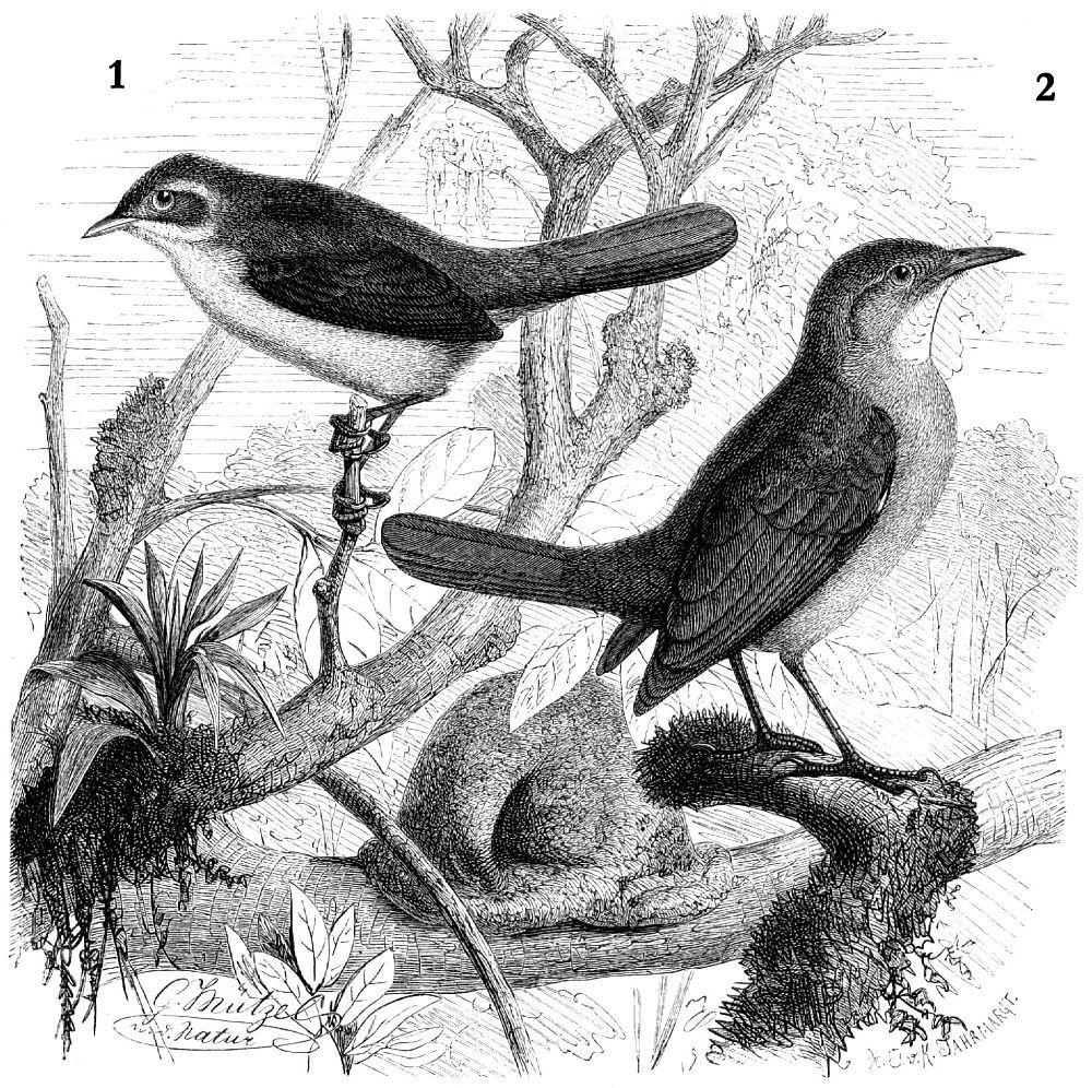 1 —Рыжелобая кустарниковая мягкохвостка (Phacellodomus ruftfrons) 2— Рыжий печник (Fitгnarius rufus)