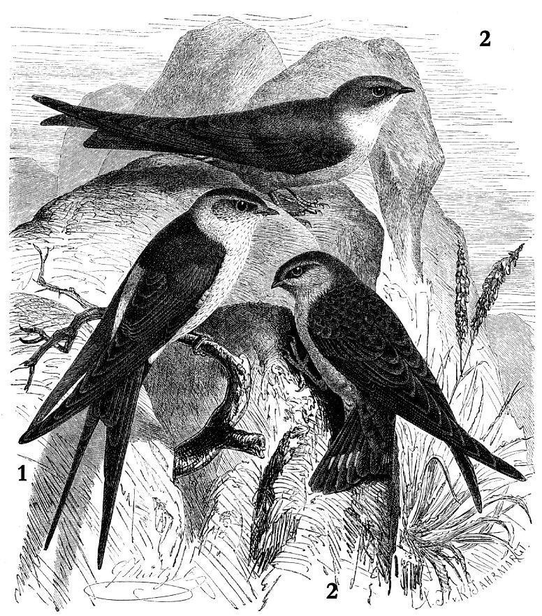 1 - Рыжепоясничная ласточка (Hirundo daurica) 2 - Скалистая ласточка (Ptyonoprogne rиреstris)