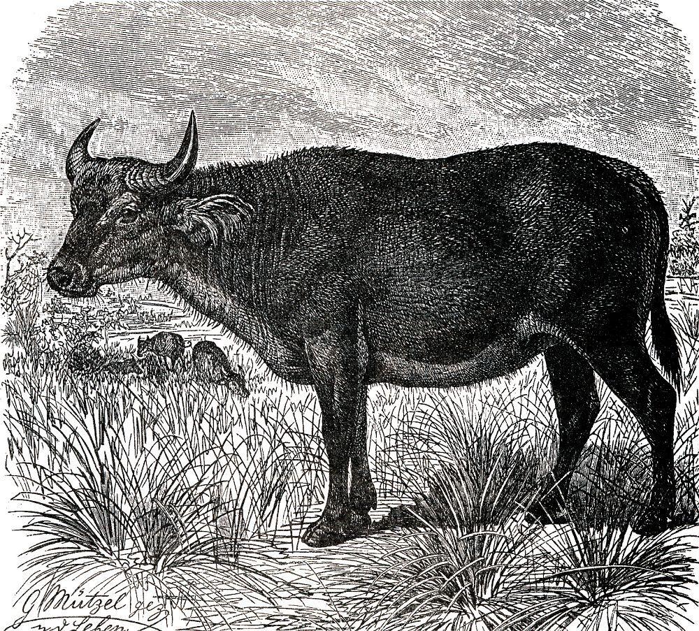 Рыжий (красный) буйвол (Syncerus caffer nanus)