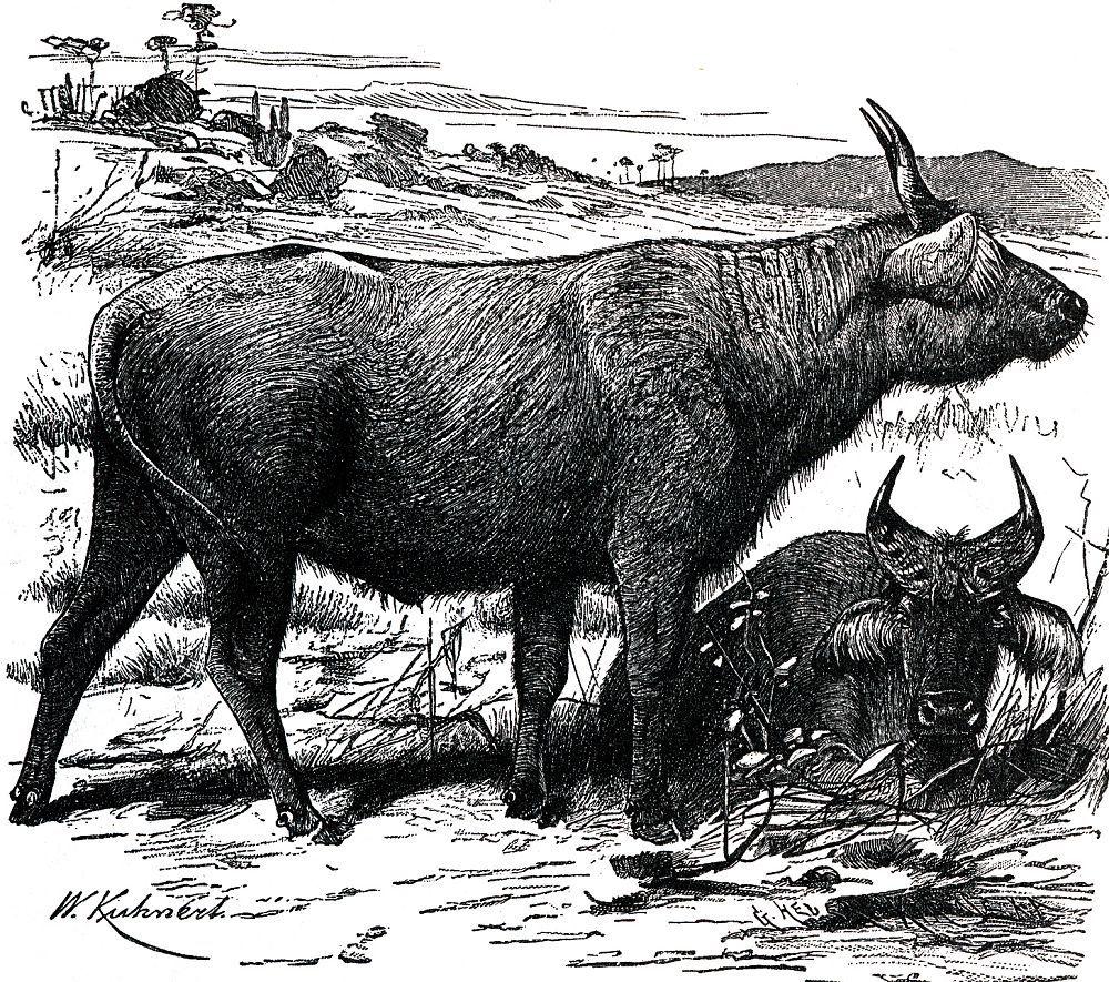 Рыжий (красный) буйвол (Syncerus coffer nanus)
