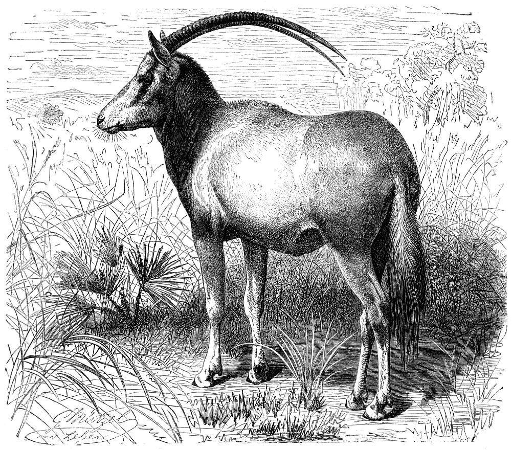 Саблерогий орикс (Oryx dammah)
