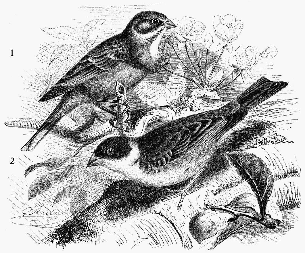 1 - Садовая овсянка (Emberiza hortulana) 2 - Черноголовая овсянка (Emberiza melanocephala)