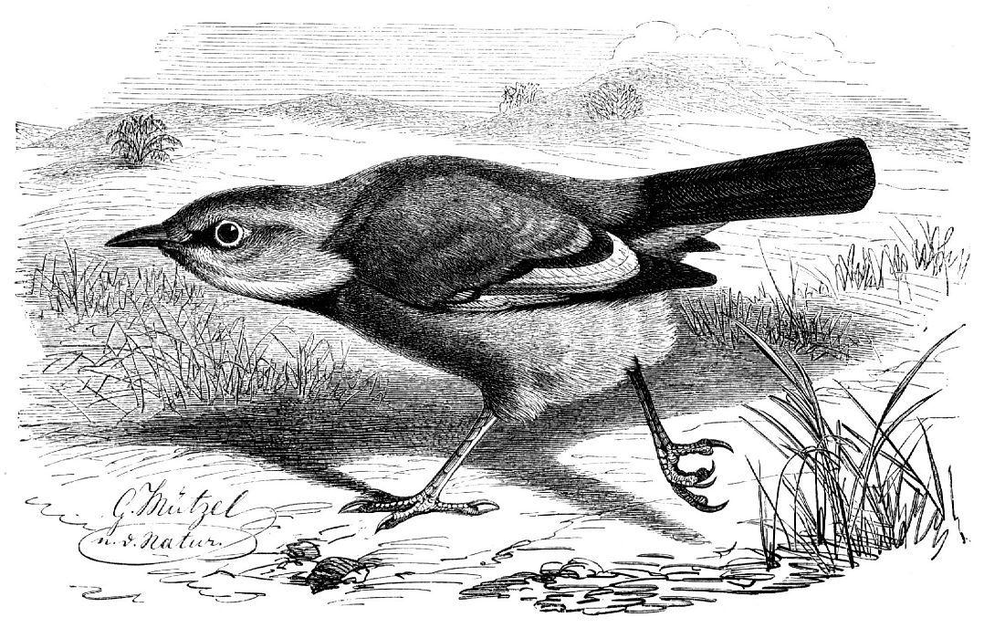 Саксаульная сойка (Podoces panderi)