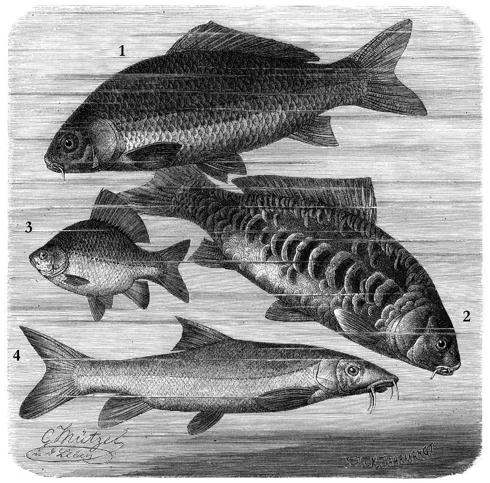 1 - Сазан (Cypfinus carpi о) 2 - Зеркальный карп (Cypfinus specular is) 3 - Обыкновенный карась (Carassius carassius) 4 - Обыкновенный усач (Barbus barbus)