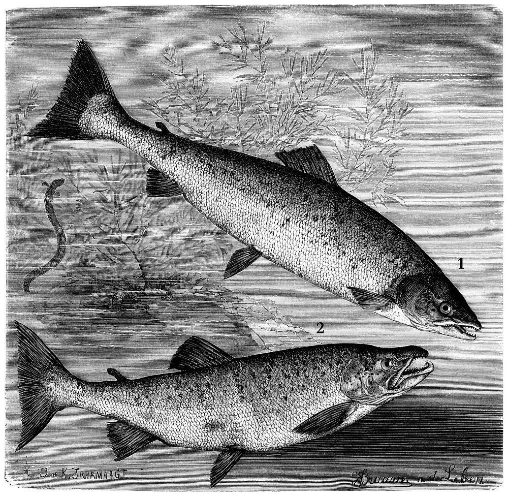 1 - Семга, или атлантический лосось (Salmo salar) 2 - Кумжа проходная (Salmo trutta)