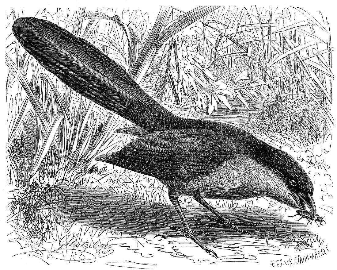Сенегальская шпорцевая кукушка (Centropus senegalensis)