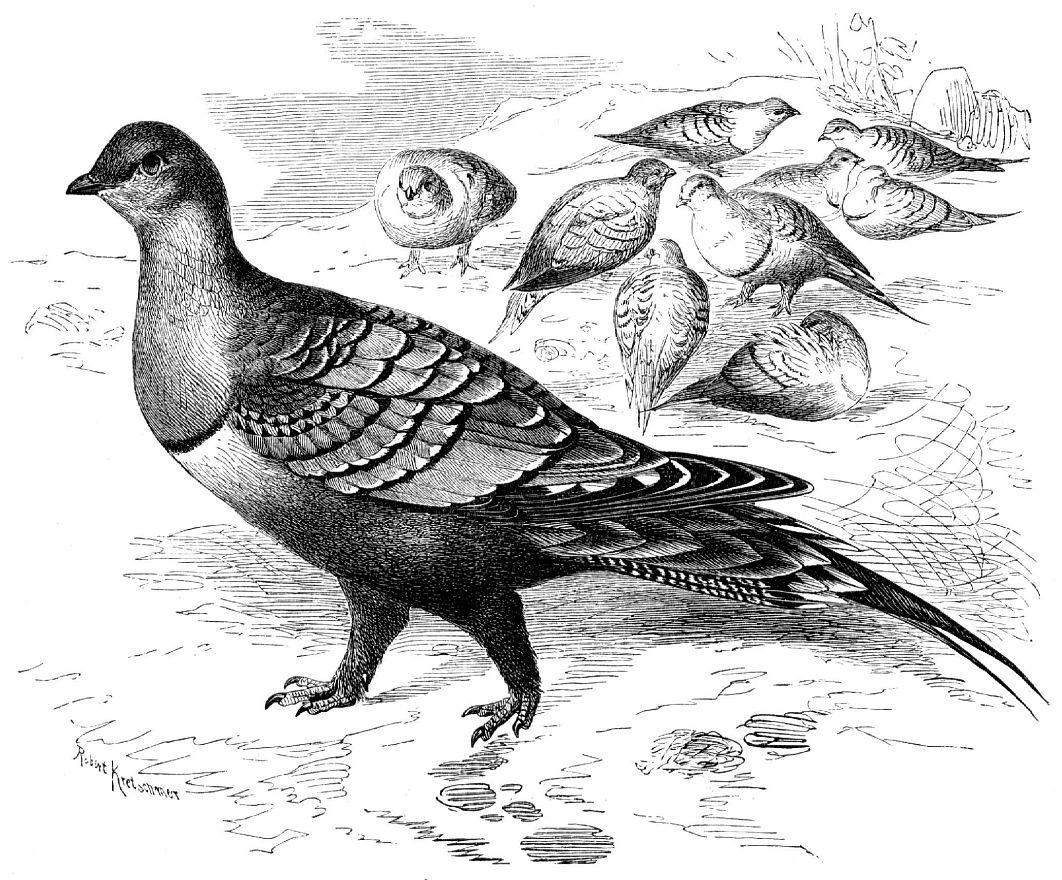 Сенегальский рябок (Pterocles exustus)