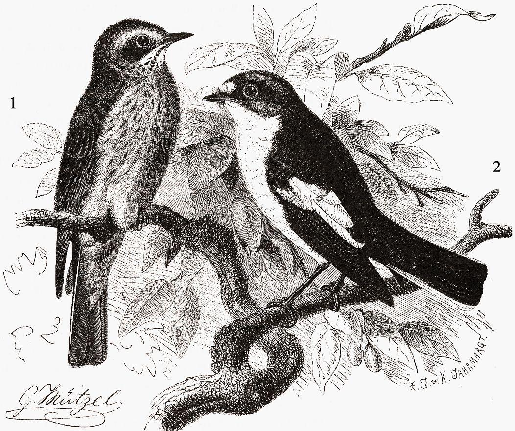 1 - Серая мухоловка (Muscicapa striata) 2 - Мухоловка-пеструшка (Ficedula hypoleuca)