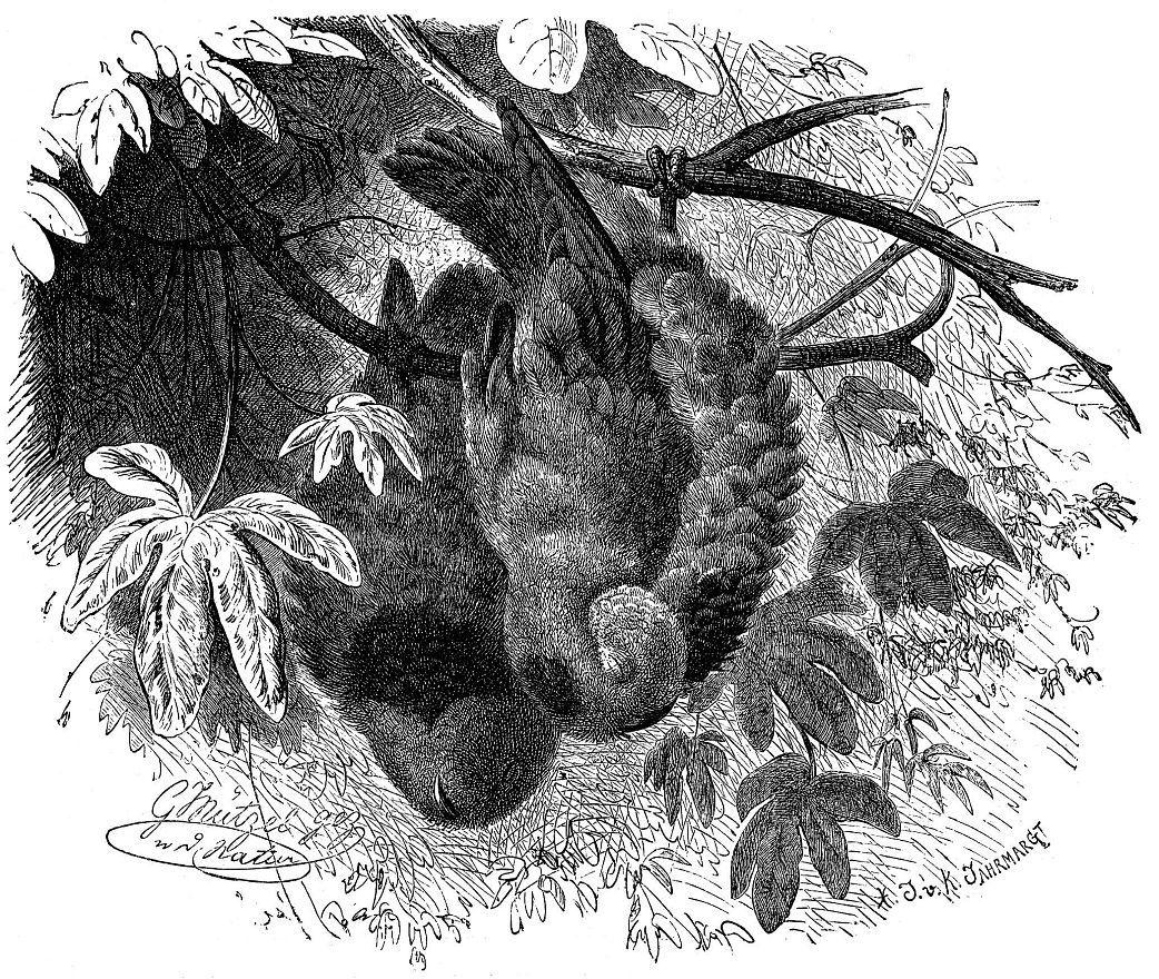 Серендак (Loriculits galgithts)
