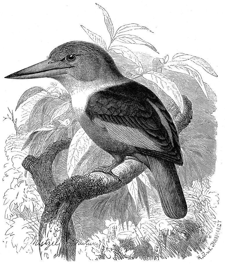 Сероголовая альциона (Halcyon leucocephala)