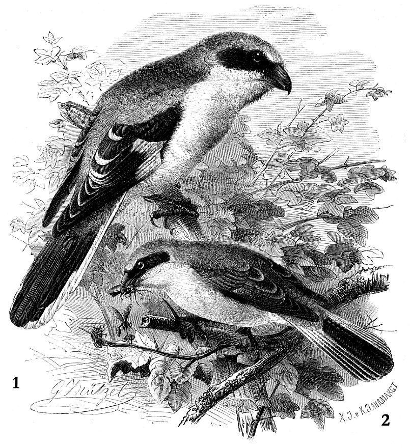 1 - Серый сорокопут (Lanius excubitor) 2 - Жулан (Lanius collurio)
