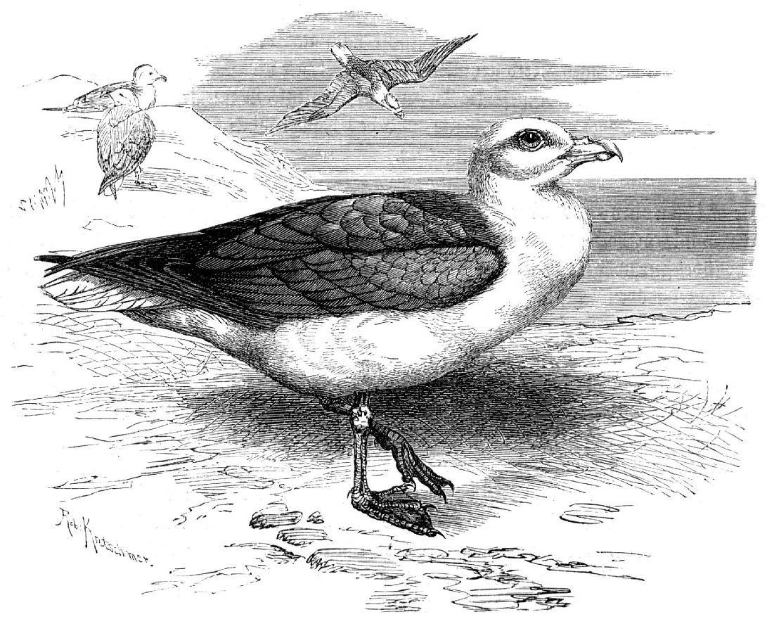 Северный глупыш (Fulmarus glacialis)