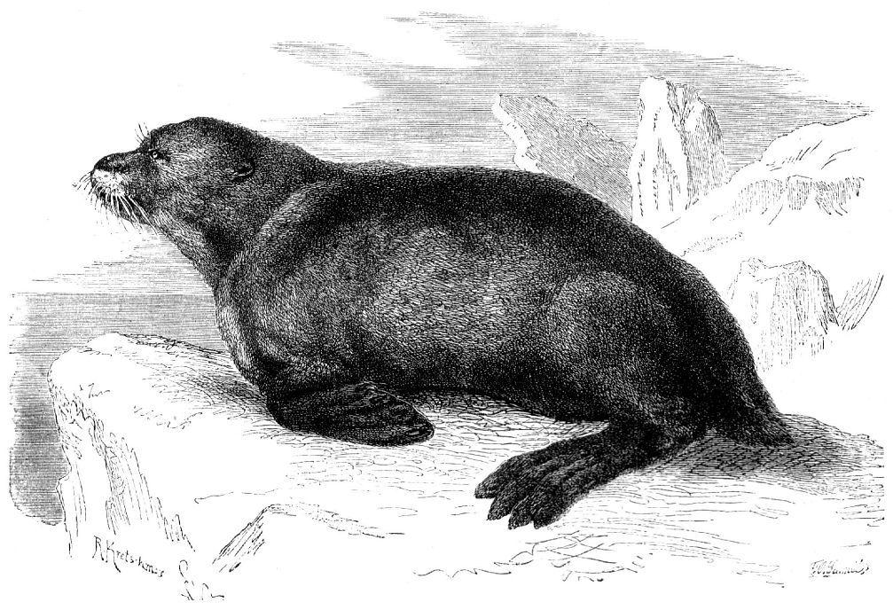 Северный морской котик (Callorhimis ursinus)