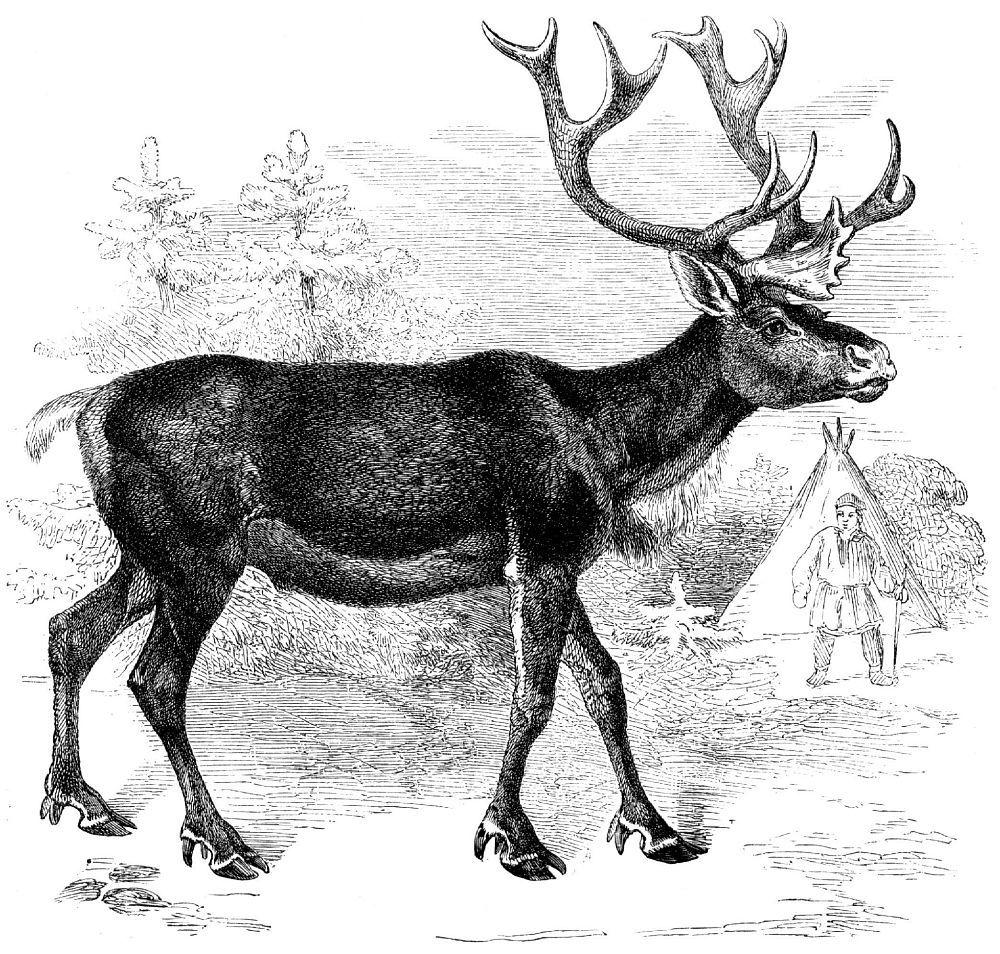 Северный олень (Rangifer tarandus)