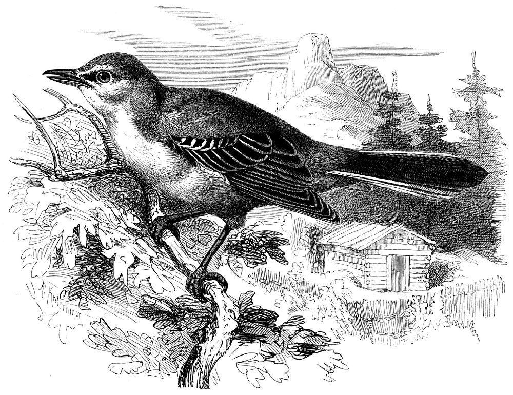 Североамериканский певчий пересмешник (Mimus polyglottos)
