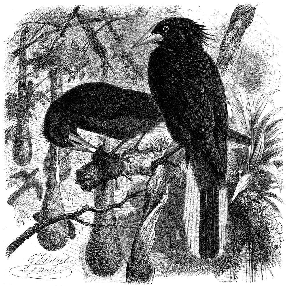 Шапу (Cassicas cristatus)