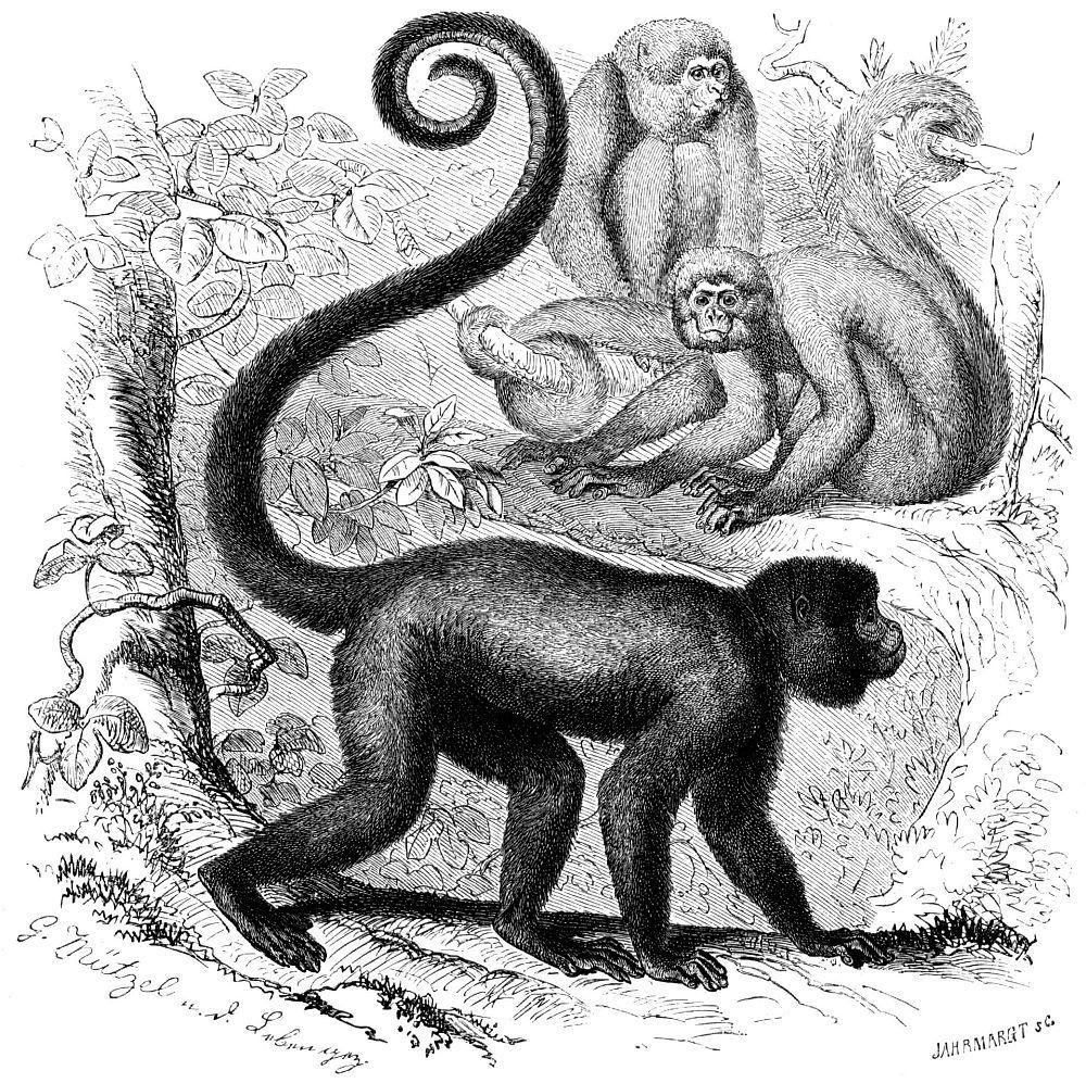 Шерстистая обезьяна Гумбольдта (Lagothrix lagothricha)