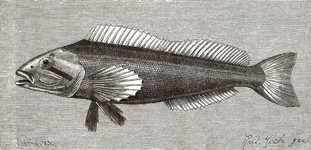 Шестигранный хир (Chirus hexagrammus)