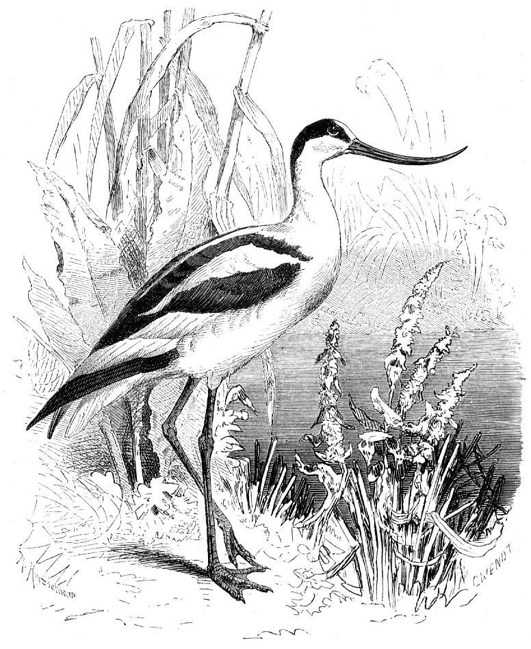 Шилоклювка (Recurvirostra avosetfa)