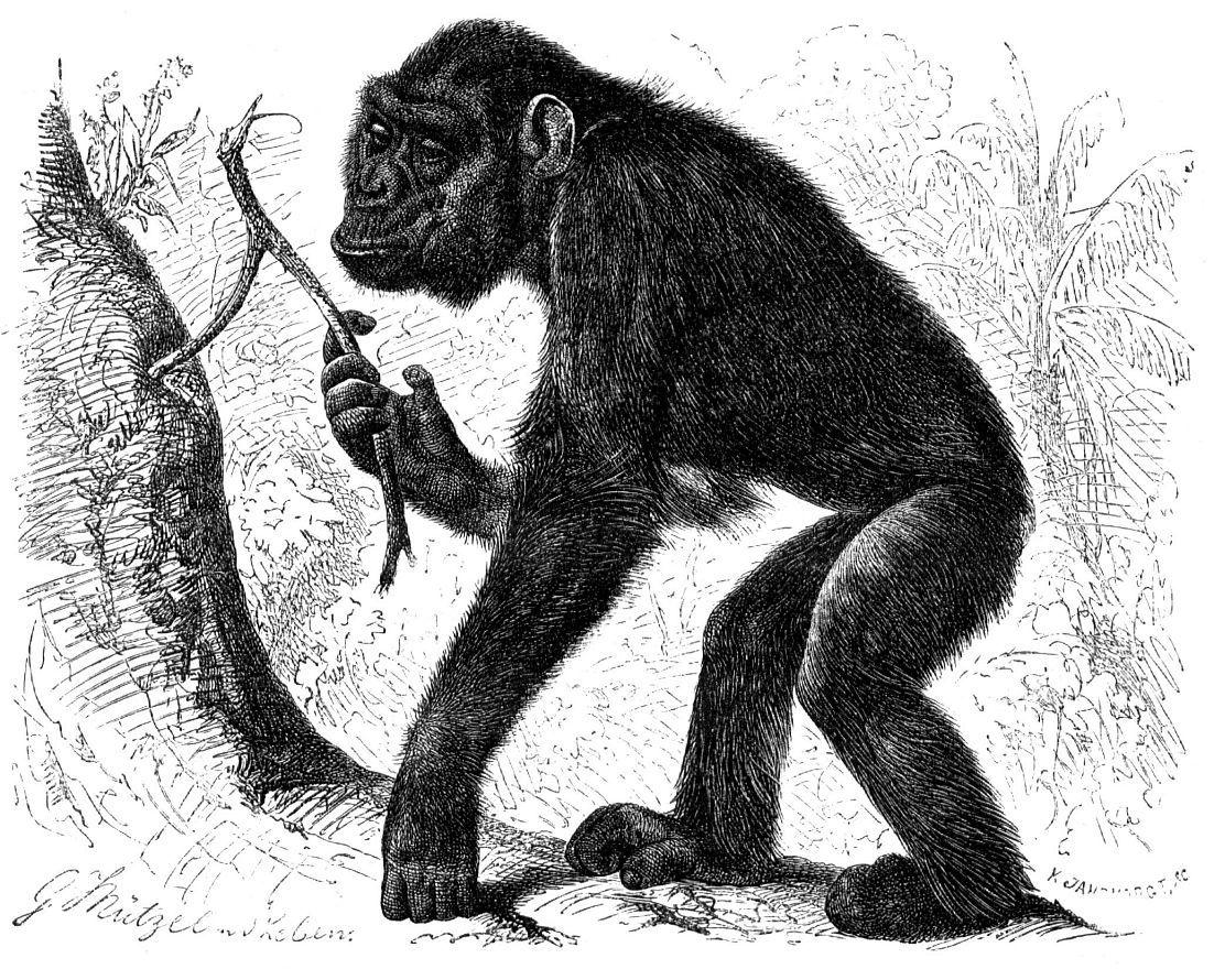 Шимпанзе (Pan troglodytes)