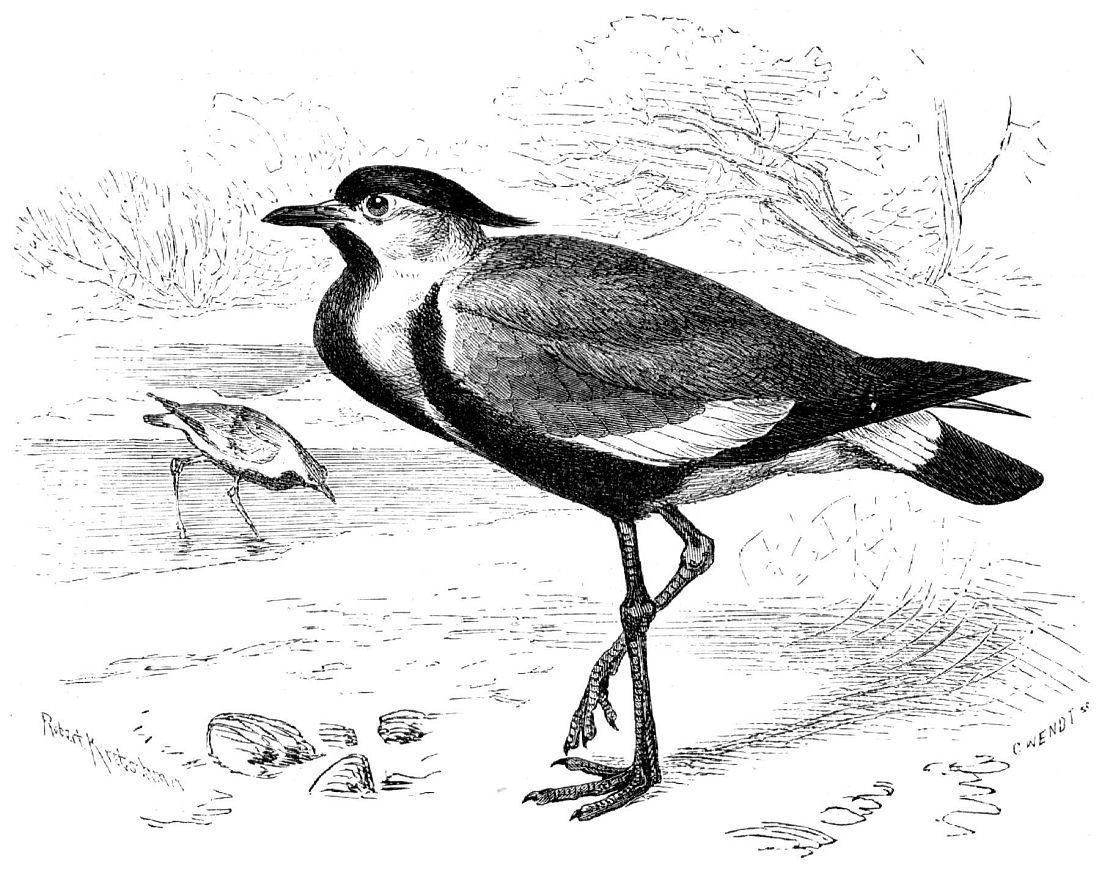 Шпорцевый чибис (Hoplopterus spinosus)