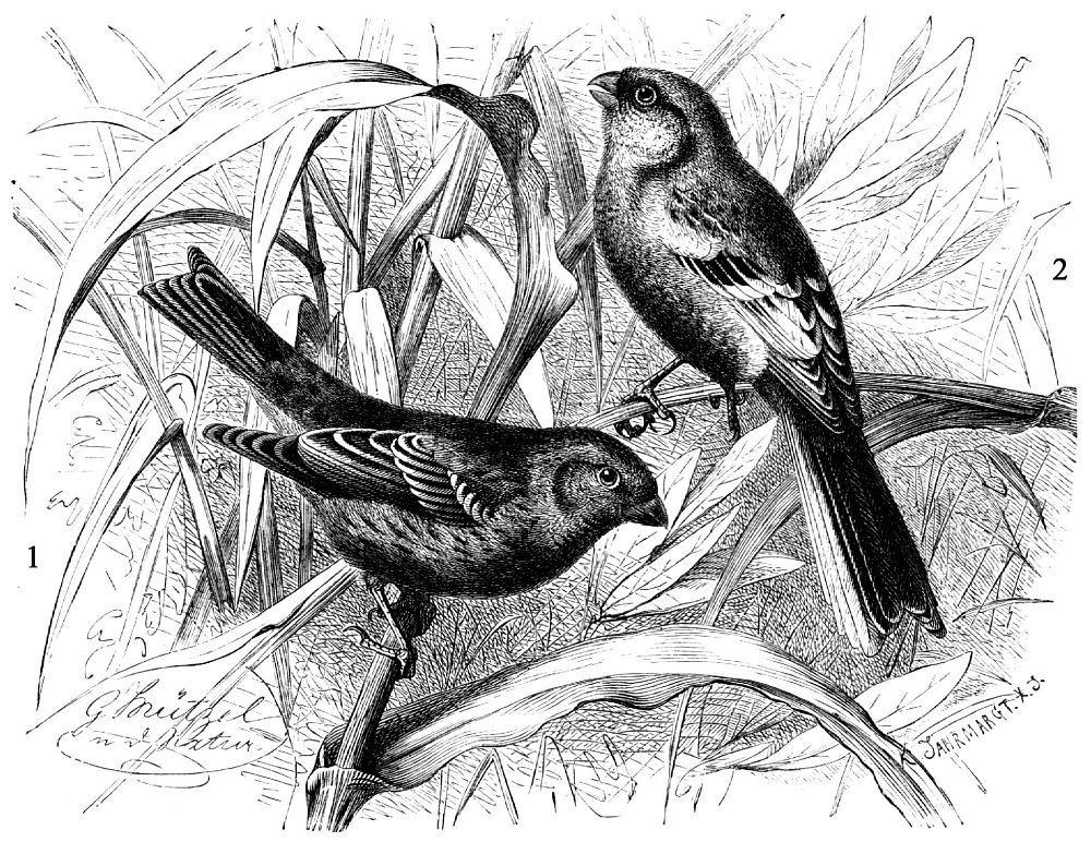 1 - Сибирская чечевица (Carpodacus roseus) 2 - Урагус (Uragus sibiricus)