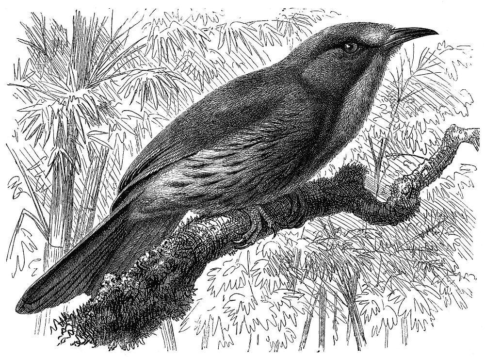 Синебородая ночная щурка (Nyctiornis athertoni)