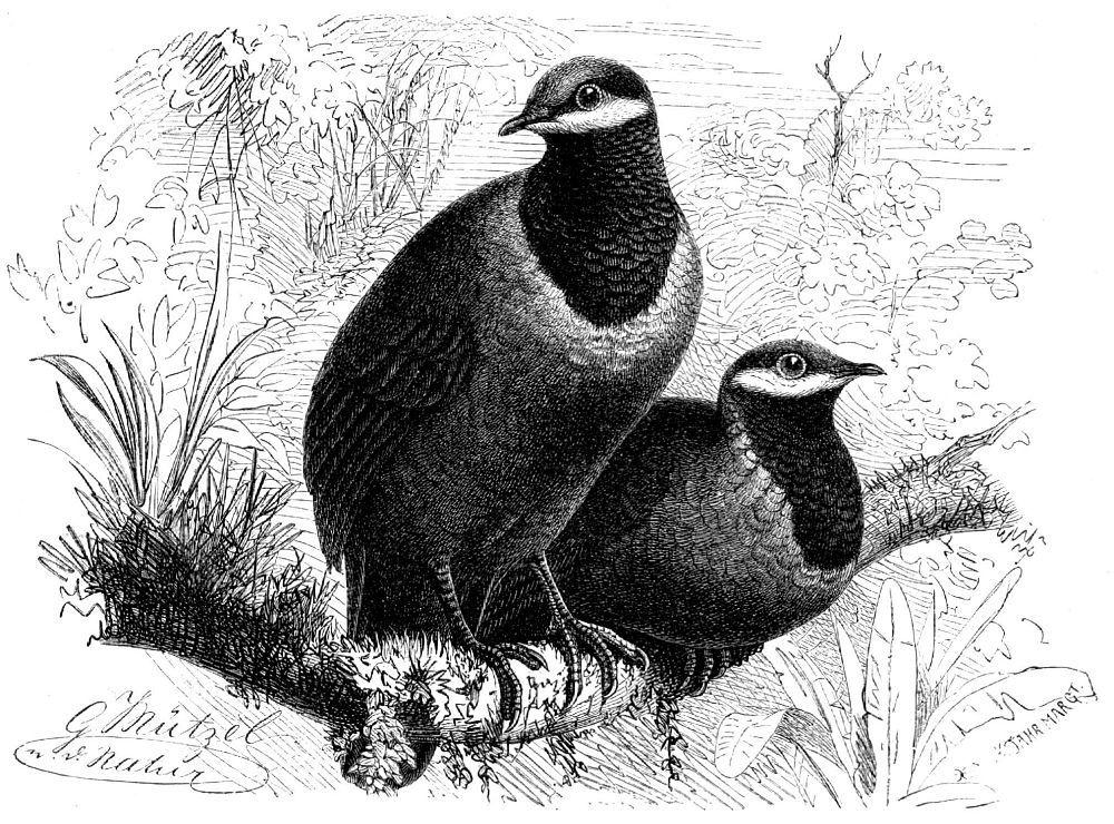 Синеголовый земляной голубь (Starnoenas cycuwcephala)