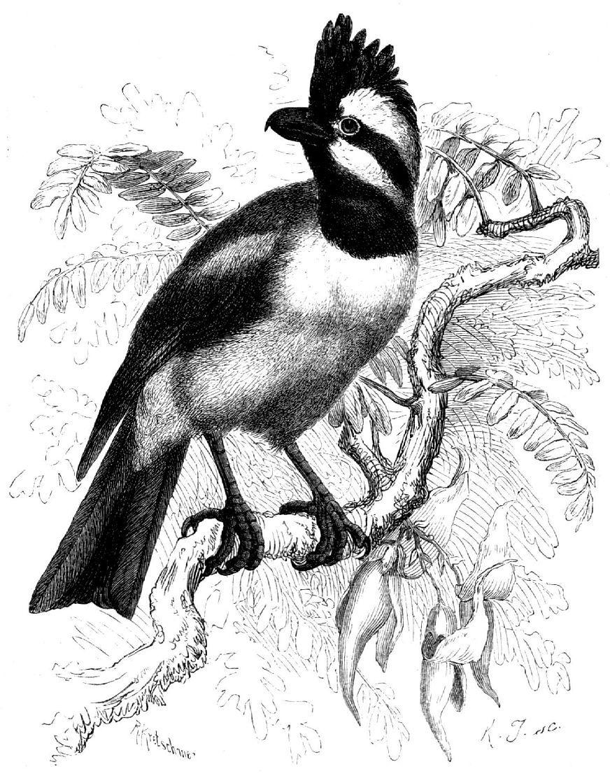 Синичья толстоголовка (Falcunculus frontalis)