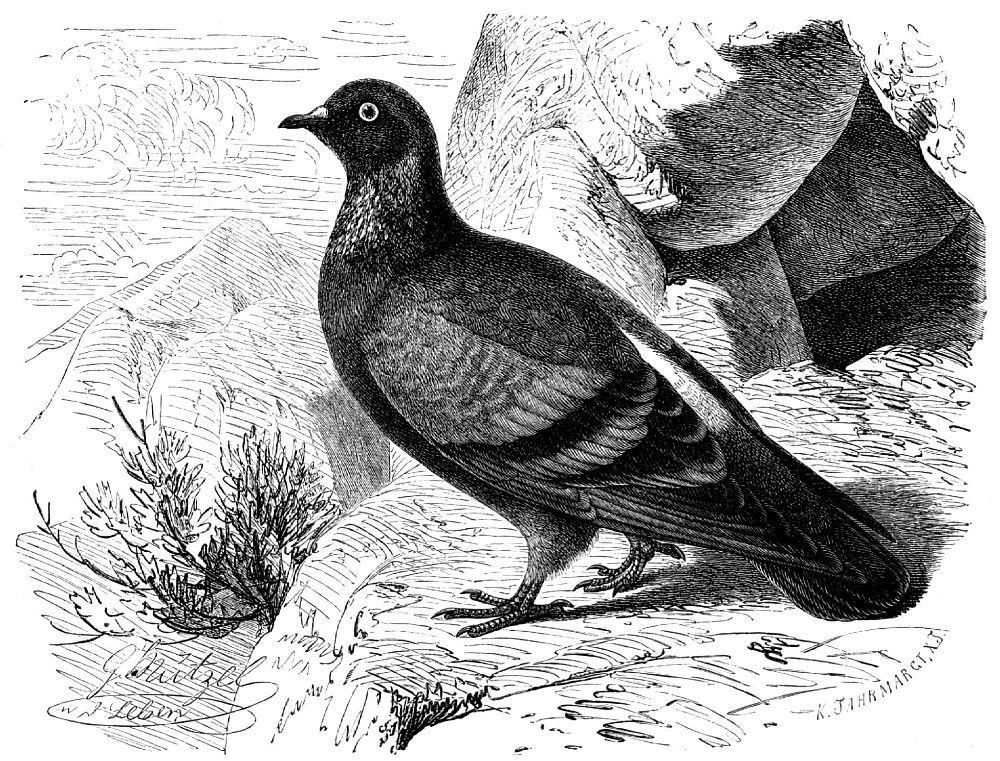 Сизый голубь (Columbo livia)