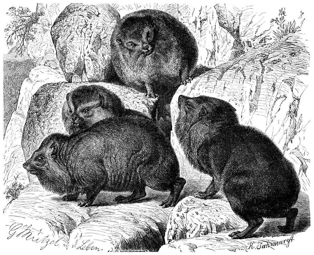 Скалистый даман (Procavia capensis)