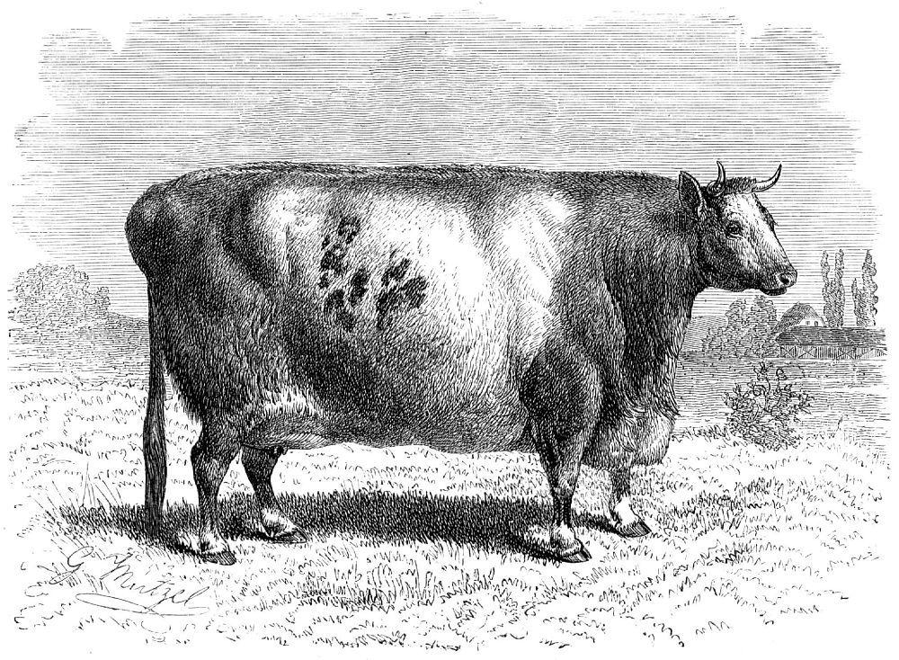 Скот мясной породы (Bos taunts)
