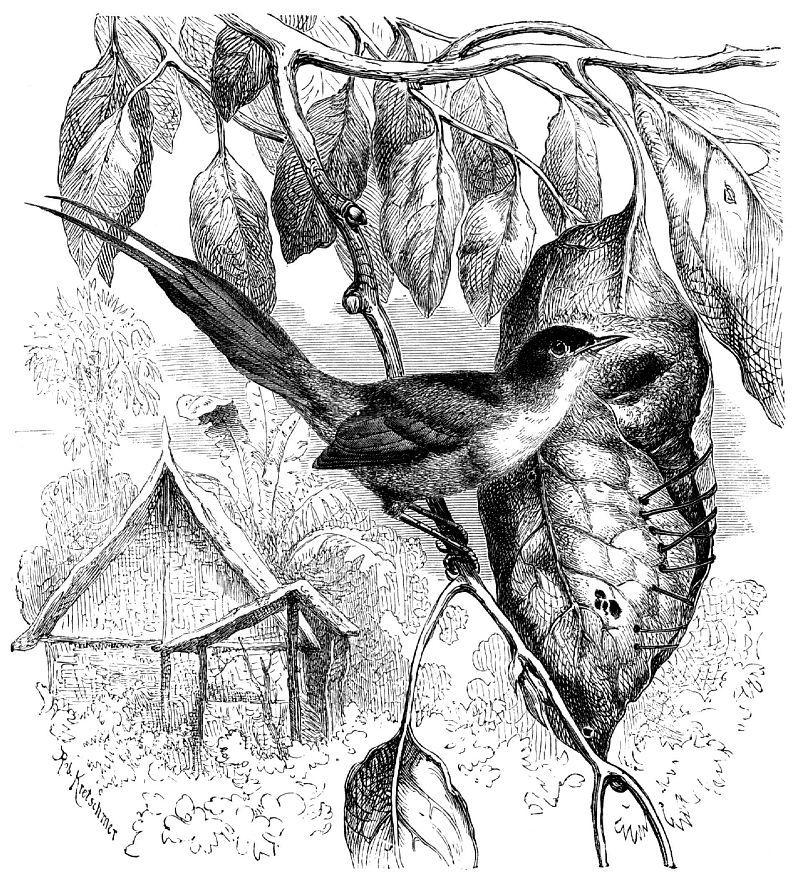 Славка-портниха обыкновенная (Orthotomus sutorius)