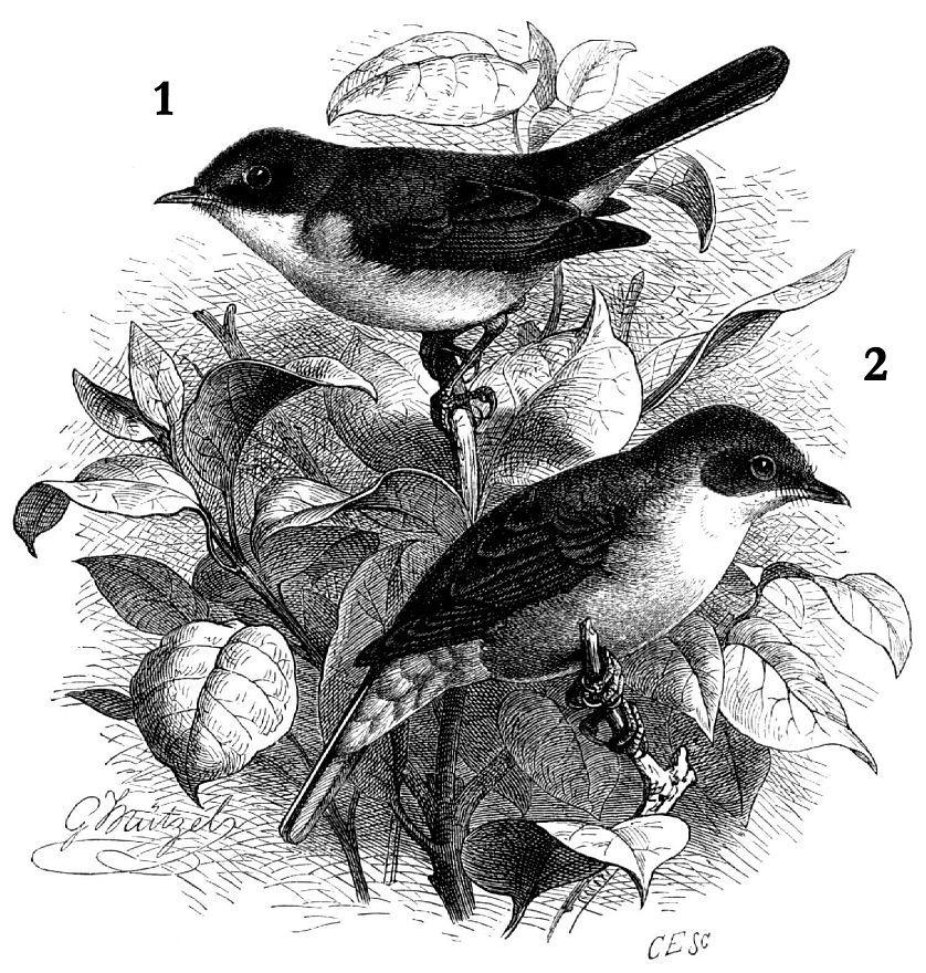1 - Славка-завирушка (Sylvia си/тиса) 2 - Серая славка (Sylvia communis) Первые из них и с внутренней стороны окаймлены беловатым. Крайние перья хвоста снаружи белые; их конечная половина с внутренней стороны также белая. Глаза карие, клюв темно-серый, ноги сине-серые.