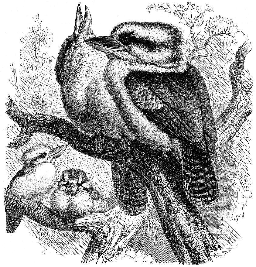 Смеющаяся кукабарра (Dacelo novaeguineae)