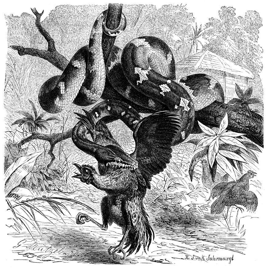 Собакоголовый удав (Сoralins caninus)
