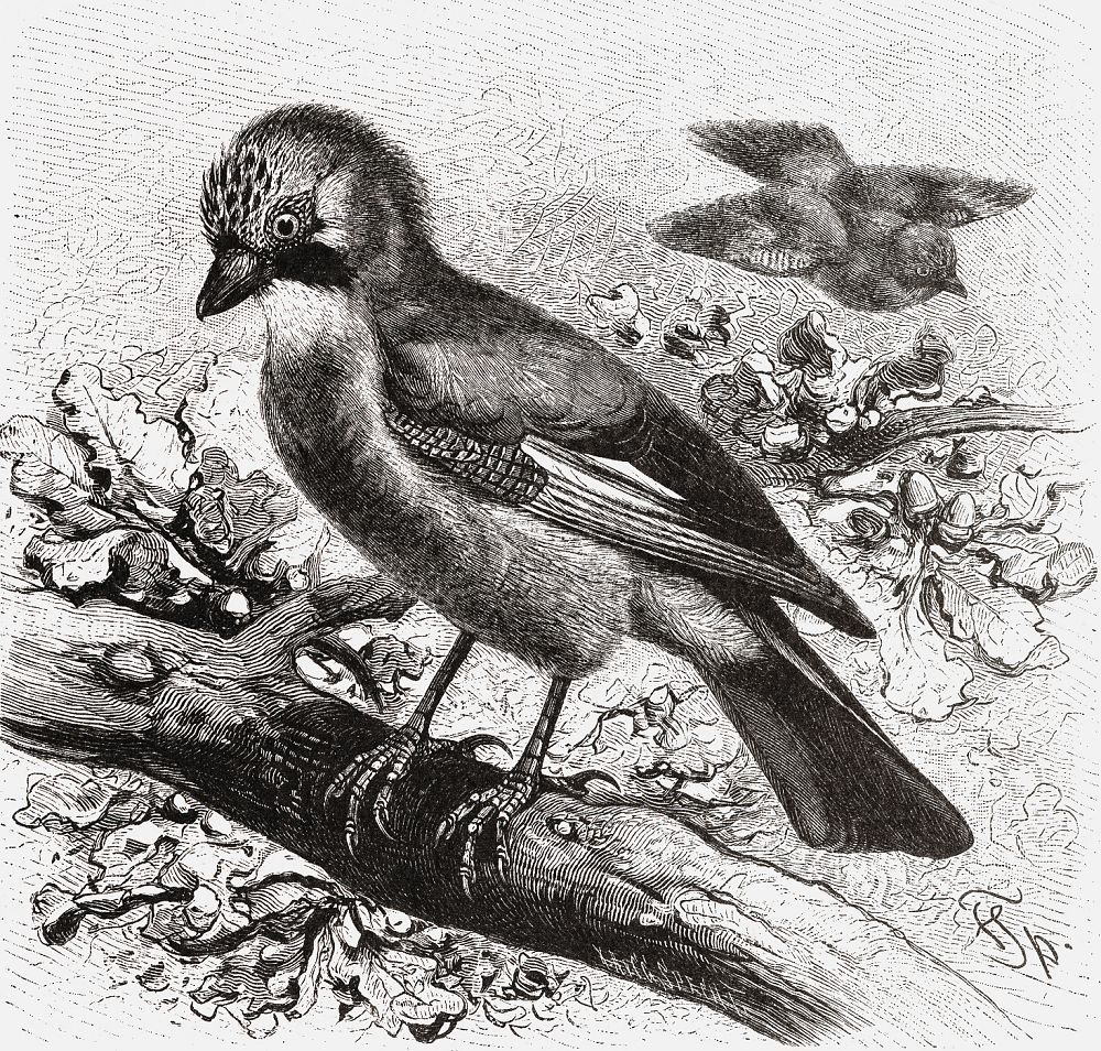 Сойка (Garmlus gkmclarius)