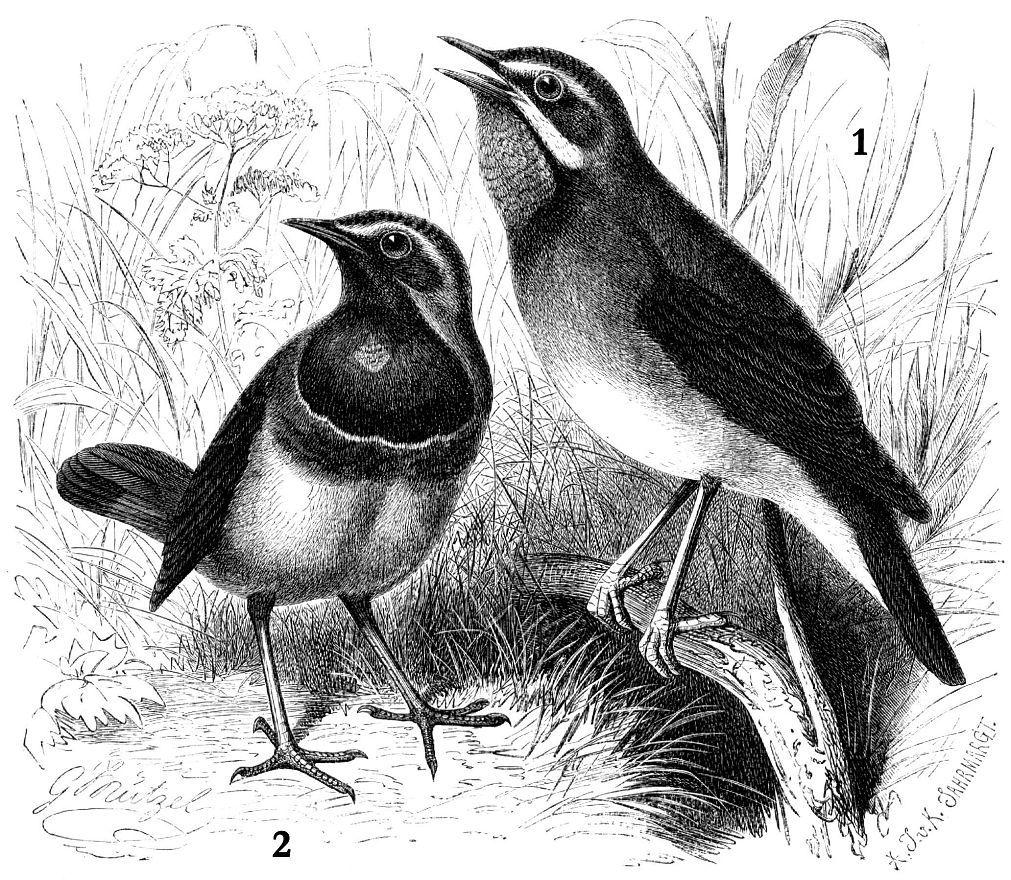1 - Соловей красношейка (Luscinia calliope) 2 - Варакушка (Luscinia svecica)