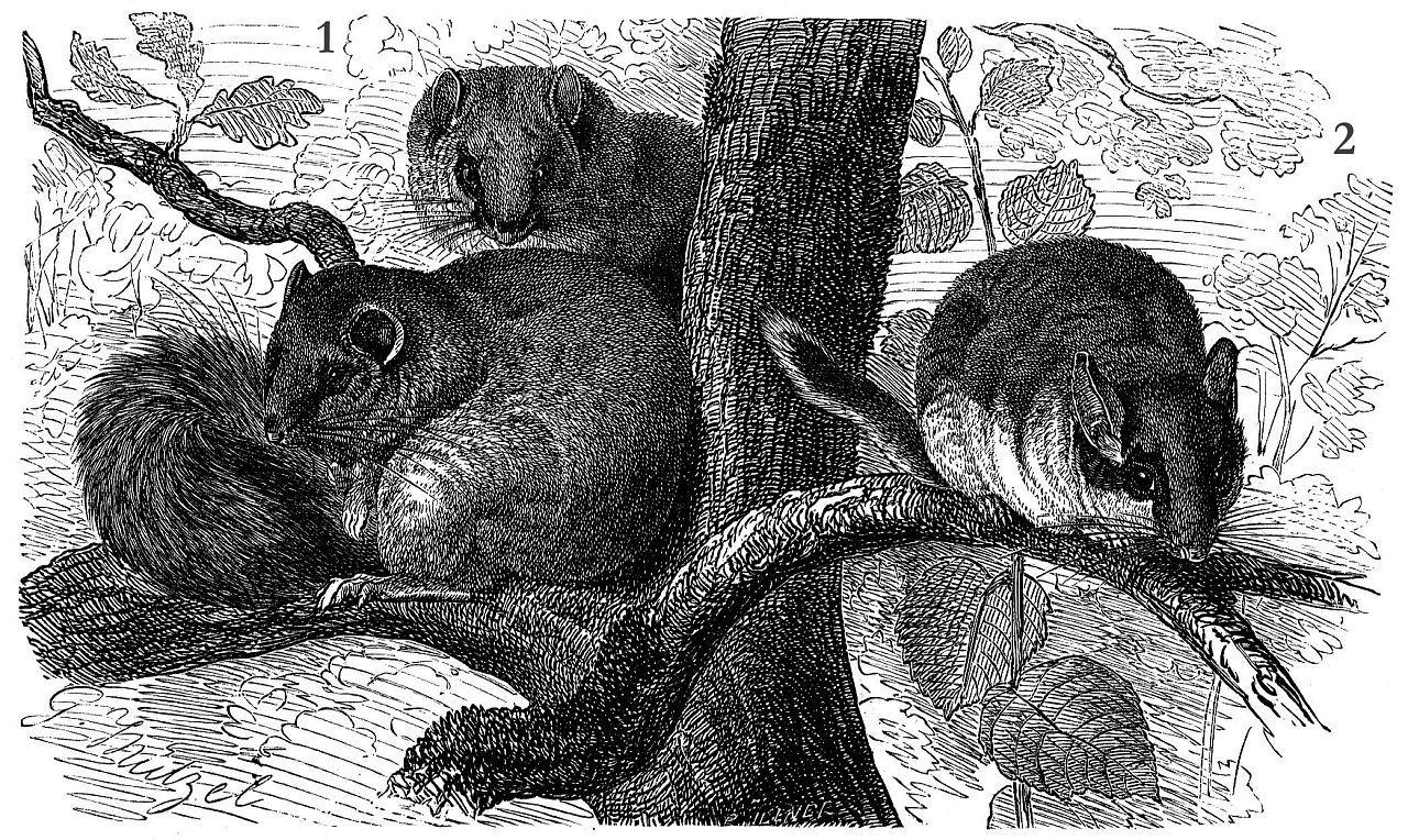 1 Соня-полчок (Myoxus glis) 2. Садовая соня (Eliomys quercinus)