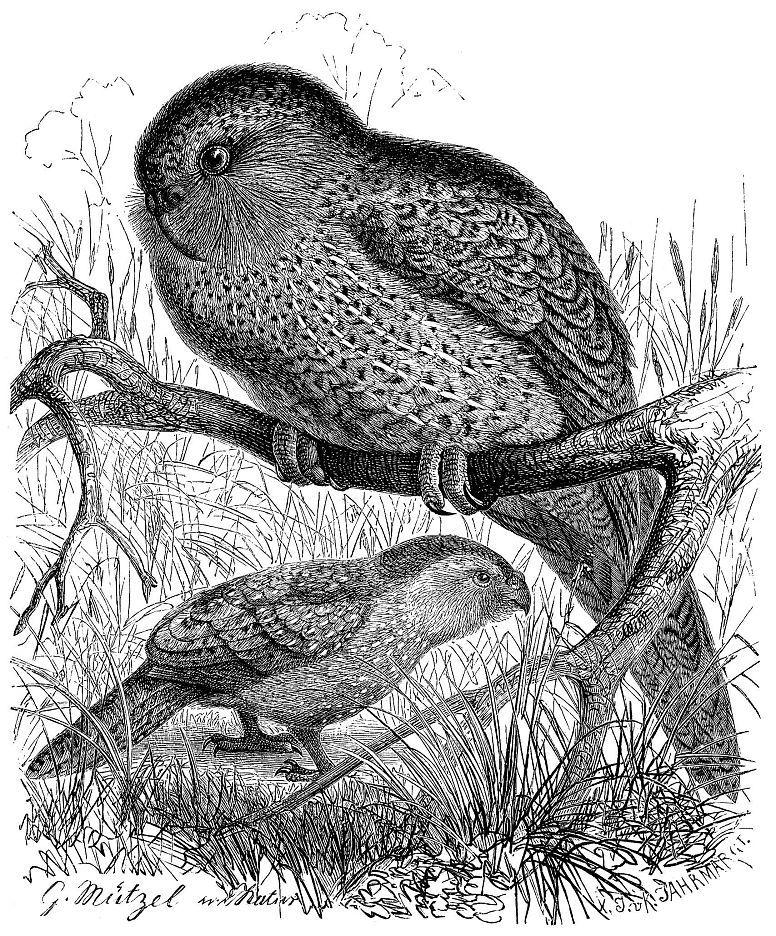 Совиный попугай, или какапо (Strigops habroptilus)