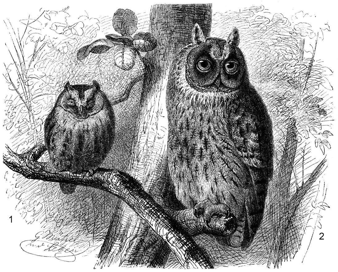 1 - Сплюшка (Otus scops); 2 - Ушастая сова (Asio otus)