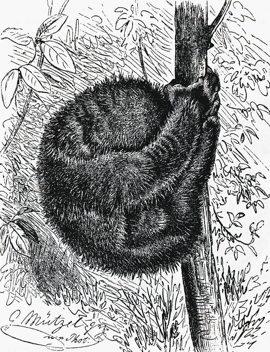 Спящий толстый лори (Nycticebus coucang)