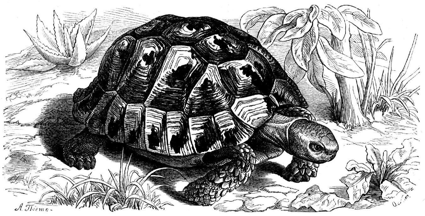 Средиземноморская черепаха (Tesludo graeca)
