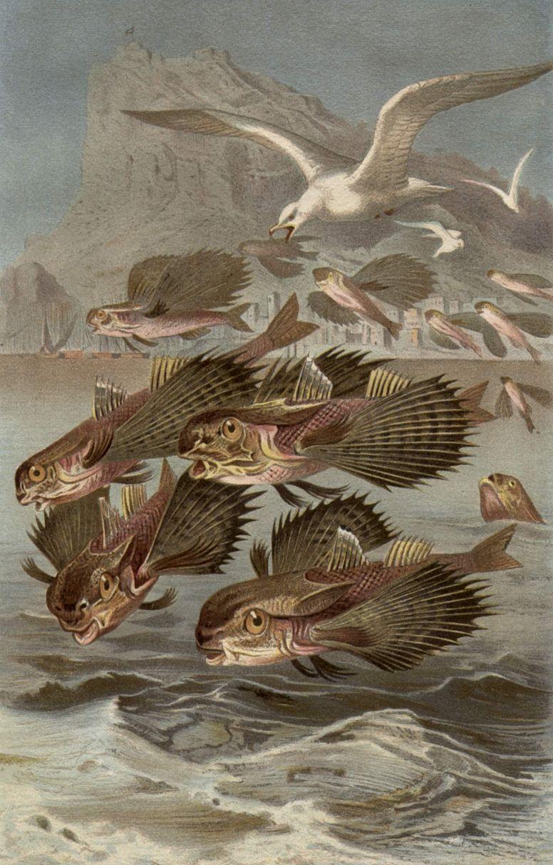 Средиземноморский долгопёр (Dactylopterus volitans)